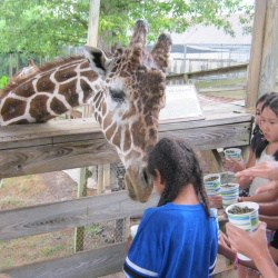 Students feeding a giraffe